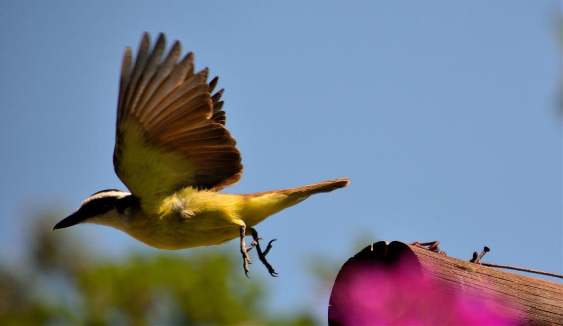 Volando voy ... Volando vengo #emotions #colorful #nature #photography #nikon #petsandanimals #bird