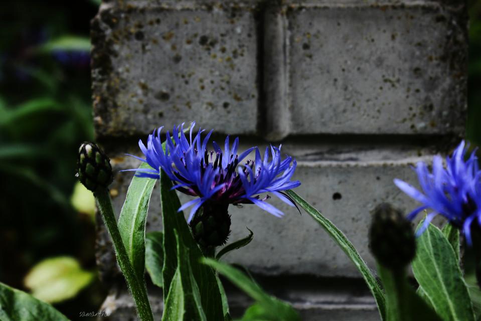#cornflower #nature #photography #flower #garden #purple