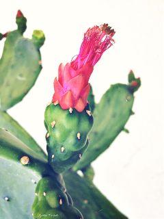 cactus cactusflower green plants nature