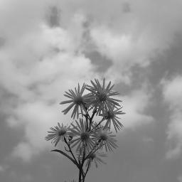 flower blackandwhite vacation vintage sky