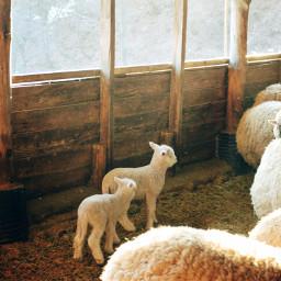 trip lamb sheep