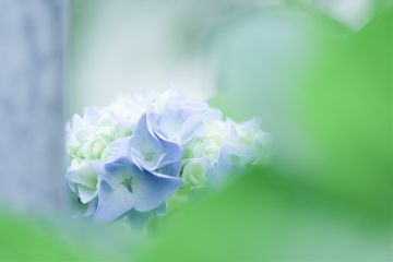 hydrangea flower nature photography love