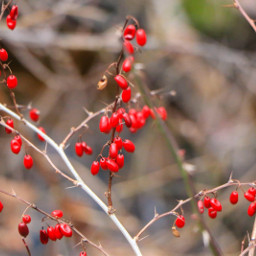 red winter nature berries photography