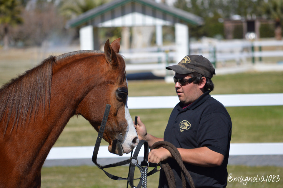 Arabian horse and his handler #horse #people