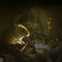 harvestmouse mouse nature nature_lover nature_collection