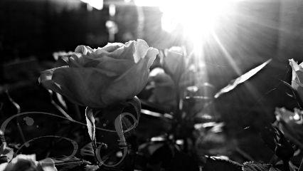 blackandwhite roses rays flowers sun
