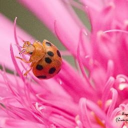 ladybug love photography macro flower