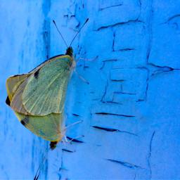 butterfly blue couple freetoedit