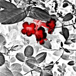 nature colorsplash cute love flower freetoedit