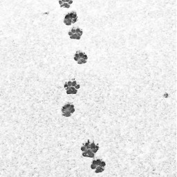 snow footprints track puppy dog freetoedit