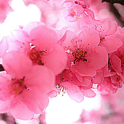 plumblossom flower botanicalgarden nature beautiful