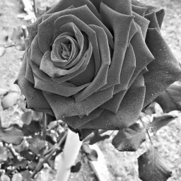 blackandwhite flower photography nature
