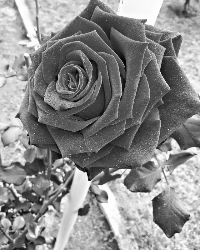 #blackandwhite   #flower   #photography   # #nature by me. 😌💁 💖