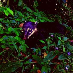 coati brasil animales selva nature
