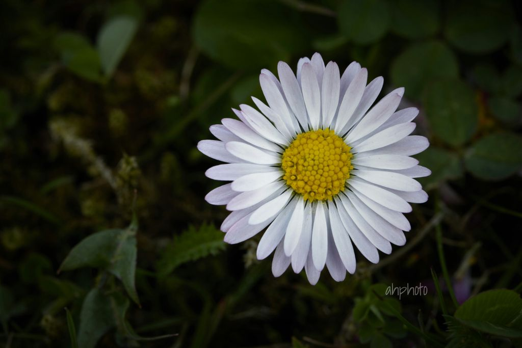 #daisy #flower #nature #photography #noedit
