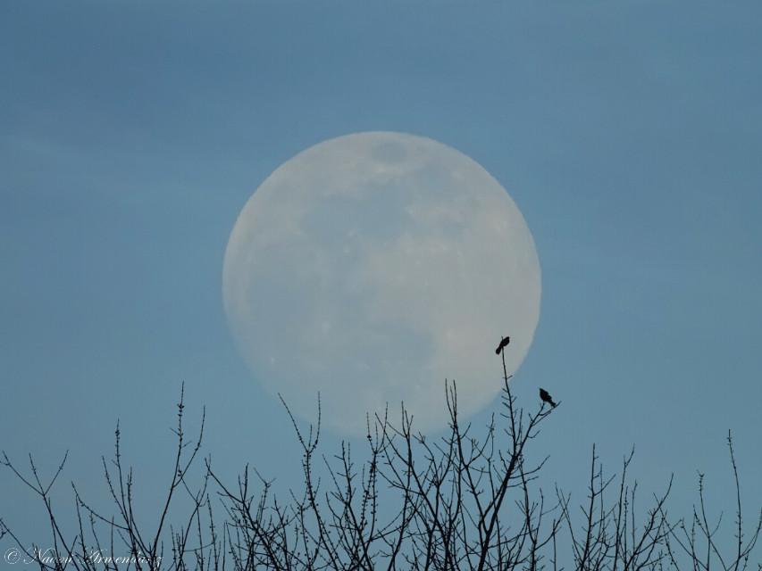 A simple edit. [F*] #freetoedit #photography #nature #sky #trees #bird #wildlife #blackbird #silhouette #moon #edited #minimal #minimalism #minimalist