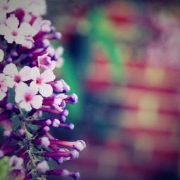 purple flowers nature bluredbackground lomoeffect