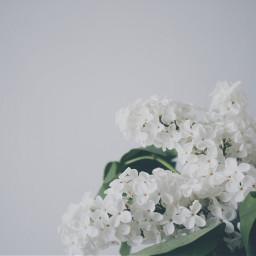 freetoedit flowers white design background